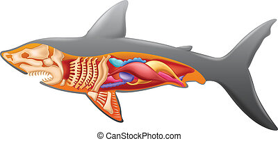 Anatomy of a shark - Illustration showing the shark's...