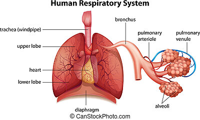 Human respiratory system - Illustration showing the human...
