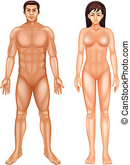 Human Body - Illustration of the human body on a white...