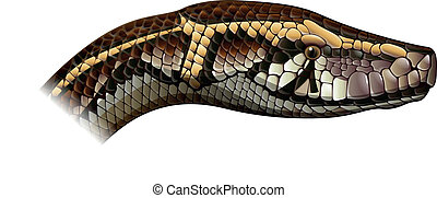 Indian python - Illustration of Python molurus - Indian...