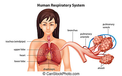 Female human respiratory system - Illustration of the female...