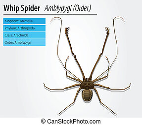 Amblypygi - genus - Illustration of a Amblypygi genus on a...