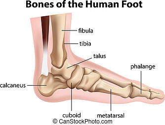 Bones of the human foot - Illustration of the bones of the...