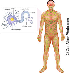 Human Neuron - Illustration showing the human neuron