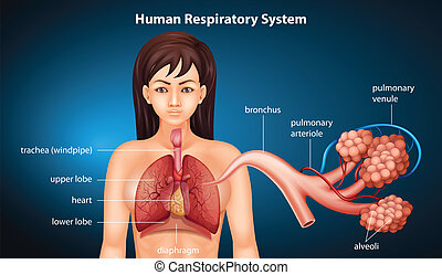 Human Respiratory System - Illustration of the respiratory...