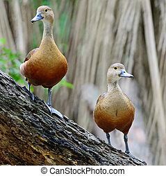 Lesser Whistling-Duck - Beautiful red duck, Lesser...