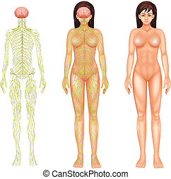 Nervous system of a woman - Illustration of the nervous...