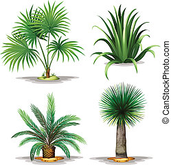 Palm plants - Illustration of the palm plants on a white...