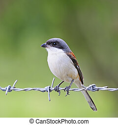 Burmese Shrike - Beautiful brown bird, male Burmese Shrike...