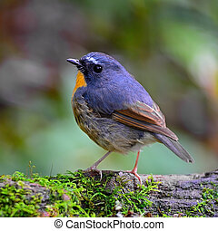 male Snowy-browed Flycatcher - Beautiful Flycatcher bird,...