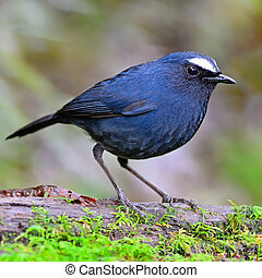 male White-browed Shortwing - Black shortwing bird, male...