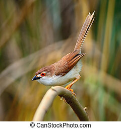 Yellow-eyed Babbler - Beautiful Yellow-eyed Babbler bird...