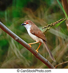 Yellow-eyed Babbler - Colorful Yellow-eyed Babbler bird...