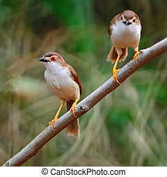 Yellow-eyed Babbler - Couple of colorful Yellow-eyed Babbler...