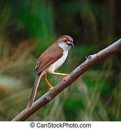 Yellow-eyed Babbler bird Chrysomma sinense, standing on a...