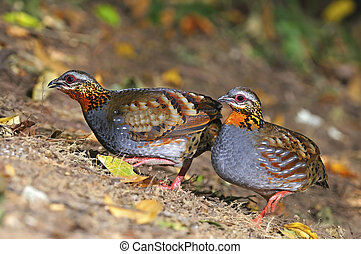 Rufous-throated Partridge - Beautiful Partridge,...
