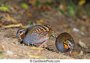 Rufous-throated Partridge - Beautiful Partridge, couple of...