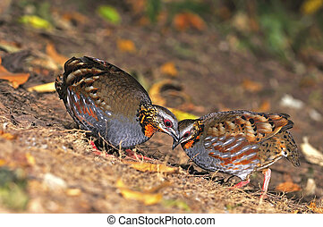 Rufous-throated Partridge - Colorful Partridge bird, couple...