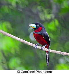Black-and-Red Broadbill - Black and red bird, Black-and-Red...
