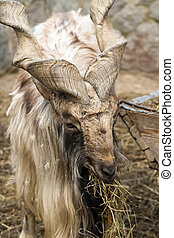 Goat with big horns helical chews straw