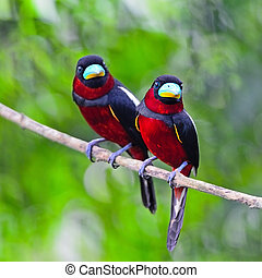 Black-and-Red Broadbill - Colorful of black and red bird,...