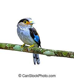 female Silver-breasted Broadbill - Colorful Broadbill,...