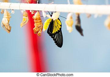 transformación, crisálida, mariposa, Troides,...