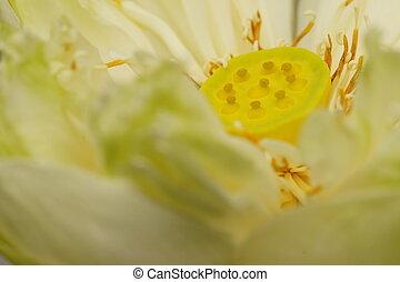 Seeds & Petals of White Lotus
