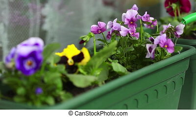 Watering flowers - Flowers being watered with a watering...