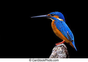 Kingfisher Profile - Beautiful kingfisher Atthis alcedo is...