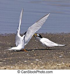 Little Tern - Seashore bird, Little Tern (Sternula...
