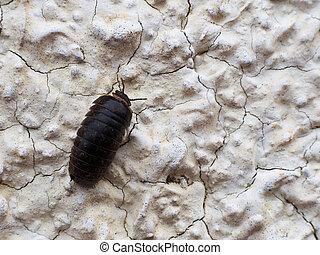 Pillbug climbing wall - Armadillidium - Macro