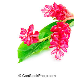 Red Ginger - Colorful flower, Red Ginger or Ostrich Plume...