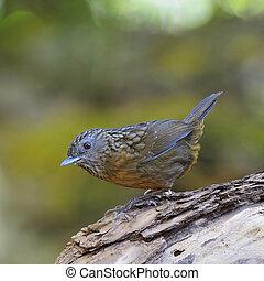 Streaked Wren Babbler - Babbler bird, Streaked Wren Babbler...