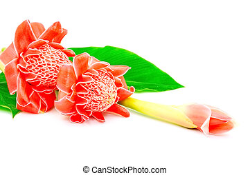 Torch Ginger - Beautiful red flower, Torch Ginger Etlingera...