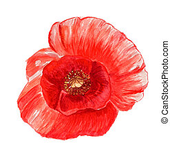 Poppy flower - Watercolor image of red poppy flower isolated...