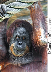 Orangutan - Cute photo of great ape red Bornean Orangutan