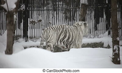 White tiger - Gorgeous white tiger pacing anxiously in his...
