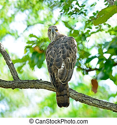 Changeable Hawk Eagle (Nisaetus limnaeetus), standing on a...