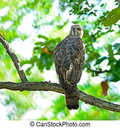 Changeable Hawk Eagle - Outstanding Eagle, Changeable Hawk...