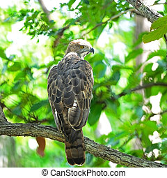 Changeable Hawk Eagle (Nisaetus limnaeetus), back profile,...