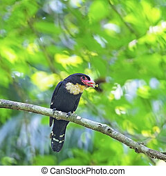 Dusky Broadbill - A beautiful Dusky Broadbill Corydon...