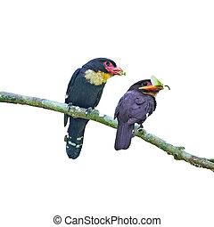 Dusky Broadbill (Corydon sumatranus) with preys for its...