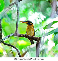 Rufous-collared Kingfisher - A beautiful Kingfisher, female...