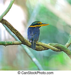 Rufous-collared Kingfisher - A beautiful Kingfisher, male...