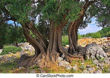 azeitona, árvore, tronco