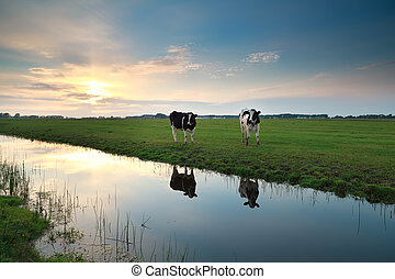 cows on pasture by river at sunset, Holland