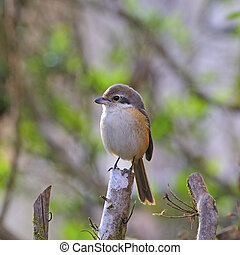 Grey-backed Shrike - A Shrike bird, Grey-backed Shrike...