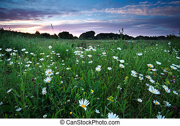 chamomile flowers on summer meadows at sunset