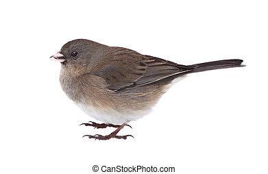 Dark-eyed Junco, Junco hyemalis, Isolated - Dark-eyed junco,...